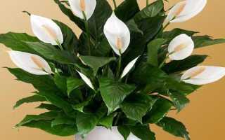 Сохнут листья у женского счастья что делать