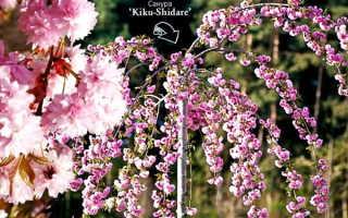 Сакура вишня декоративная