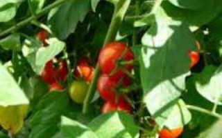 Что влияет на скорость созревания томатов в теплице
