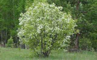 Черемуха куст или дерево