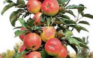 Колоновидная яблоня васюган описание фото отзывы