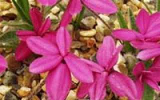 Родогипоксис растение альпийского сада