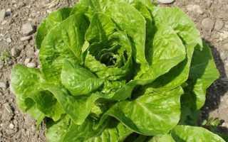 Салат ромен полезные свойства и противопоказания