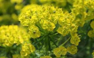 Фото цветка молочай